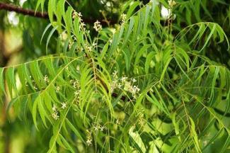 Propiedades del Árbol de Neem, benéfico para granjeros y agricultores al combatir plagas de plantaciones