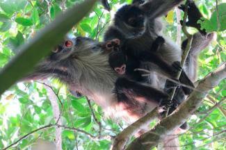 Monos araña actúan como computadoras colectivas